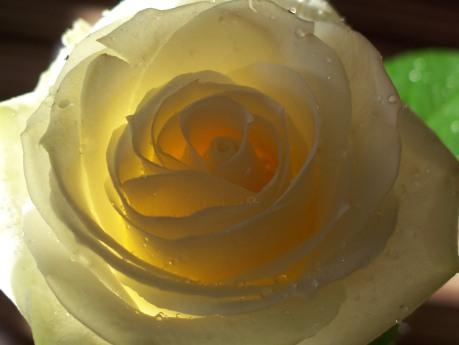 trandafir-light.jpg